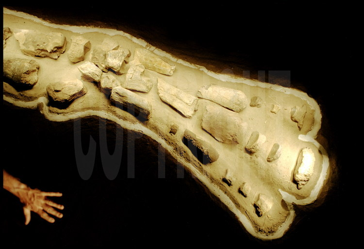 Hargaï site: Piecing Together. Close up of a front limb, which morphologically corresponds to a human hand (digits, metacarpal, carp).